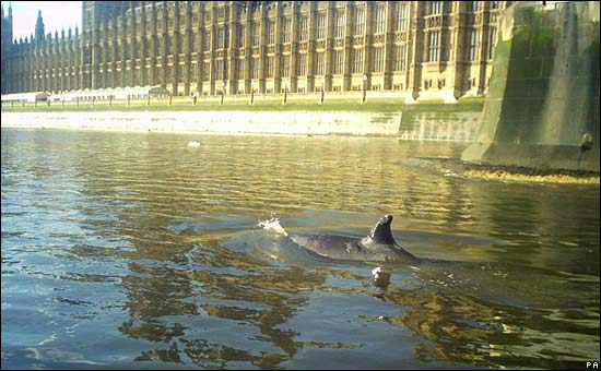 Northern Bottle-Nosed Whale beside Palace of Westminster in 2006