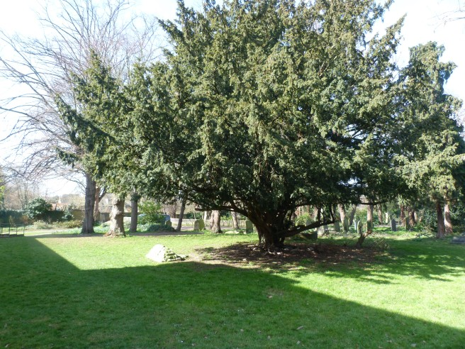 Yew tree marking site of plague pit