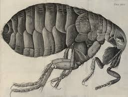 Flea from Hooke's Micrographia