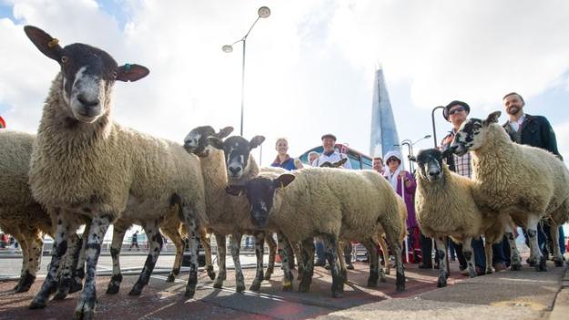 Sheep Drive 2015